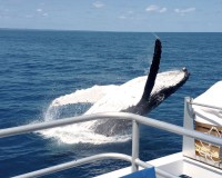 whale breach aboard amaroo