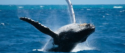 humpback whale hervey bay1